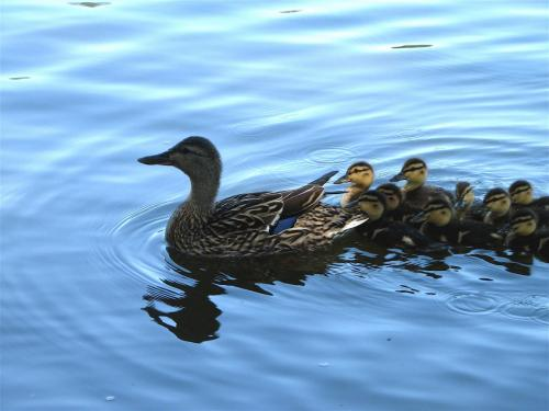 mother and baby ducks are swimming.